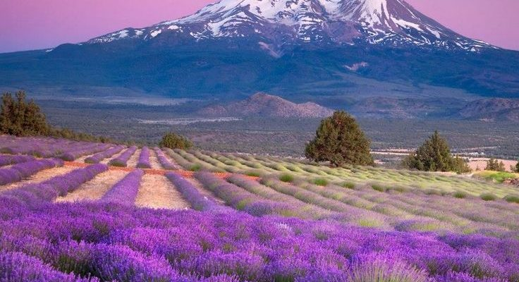 Young Living Whispering springs Lavender Farm in Mona, Utah. Distillery, Essential Oils,